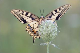 Schwalbenschwanz 12 (Papilio machaon)