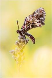 Südlicher Osterluzeifalter 01 (Zerynthia polyxena)