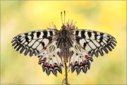 Südlicher Osterluzeifalter (Zerynthia polyxena) 02