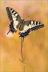 Schwalbenschwanz 15 (Papilio machaon)