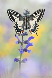 Schwalbenschwanz 18 (Papilio machaon)
