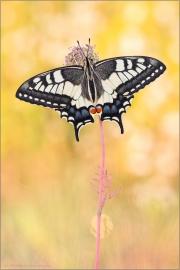 Schwalbenschwanz 16 (Papilio machaon)