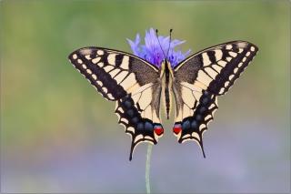Schwalbenschwanz 14 (Papilio machaon)