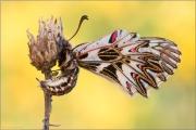 Südlicher Osterluzeifalter (Zerynthia polyxena) 03