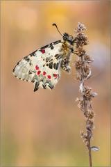 Balkan-Osterluzeifalter 01 (Zerynthia cerisy)