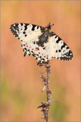 Balkan-Osterluzeifalter (Zerynthia cerisy) 02