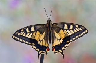 Schwalbenschwanz 05 (Papilio machaon)