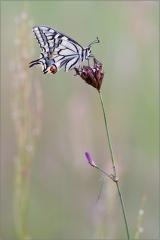 Schwalbenschwanz 01 (Papilio machaon)