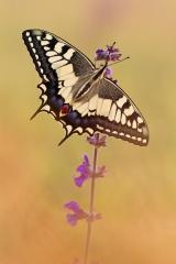 Schwalbenschwanz 02 (Papilio machaon)