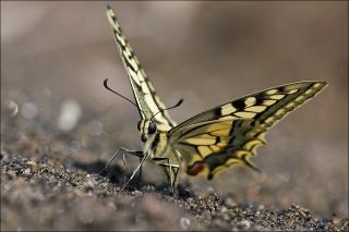Schwalbenschwanz 09 (Papilio machaon)