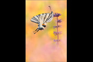 Segelfalter (Iphiclides podalirius) 07