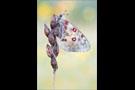 Hochalpen-Apollo (Parnassius sacerdos) 01
