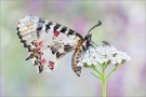 Balkan-Osterluzeifalter (Zerynthia cerisy) 04