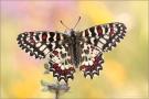 Spanischer Osterluzeifalter (Zerynthia rumina) 02