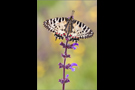 Balkan-Osterluzeifalter (Zerynthia cerisy) 03