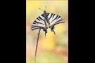 Segelfalter (Iphiclides podalirius) 06