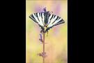 Segelfalter (Iphiclides podalirius) 04