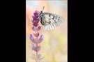 Schwarzer Apollo (Parnassius mnemosyne) 03