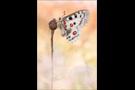 Roter Apollo (Parnassius apollo) 08