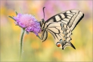 Schwalbenschwanz 17 (Papilio machaon)