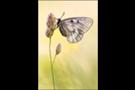 Schwarzer Apollo (Parnassius mnemosyne) 01