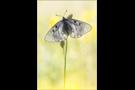 Schwarzer Apollo (Parnassius mnemosyne) 02