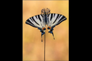 Segelfalter 03 (Iphiclides podalirius)