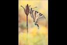 Segelfalter (Iphiclides podalirius) 05