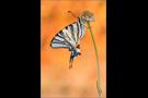 Segelfalter 01 (Iphiclides podalirius)