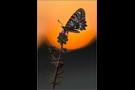 Spanischer Osterluzeifalter (Zerynthia rumina) 01