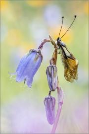 Libellen-Schmetterlingshaft 07 (Libelloides coccajus)