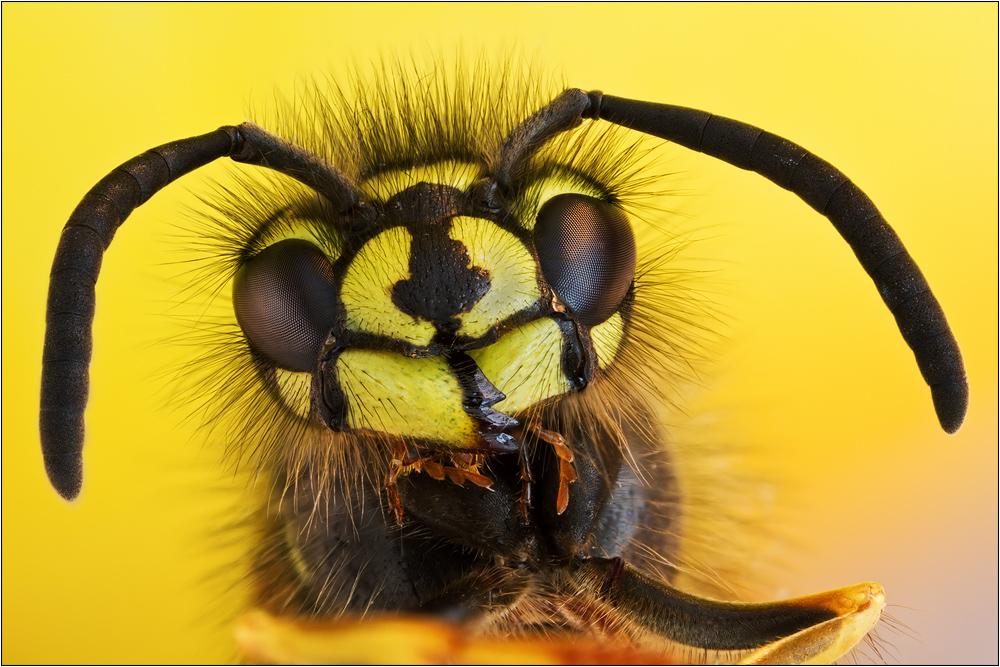 Gemeine Wespe 01 (Vespula vulgaris)