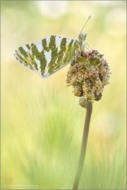 Grüngestreifter Weißling (Euchloe belemia) 01