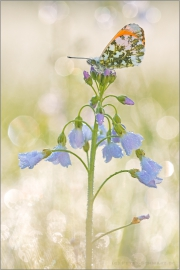 Aurorafalter (Anthocharis cardamines) 20