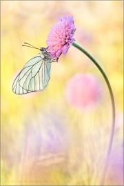Baumweißling (Aporia crataegi) 09