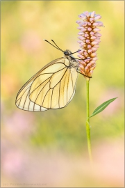 Baumweißling (Aporia crataegi) 10