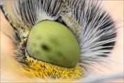 Auge Aurorafalter (Anthocharis cardamines)