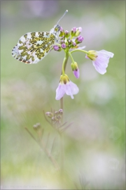 Aurorafalter (Anthocharis cardamines) 22