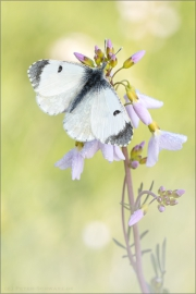 Aurorafalter (Anthocharis cardamines) 24