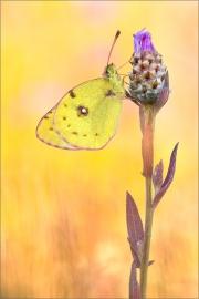 Hufeisenklee-Gelbling (Colias alfacariensis) 02