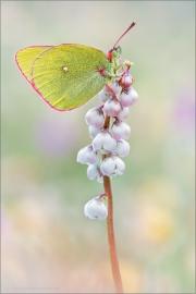 Hochmoor Gelbling (Colias palaeno) 01