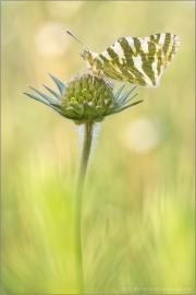 Grüngestreifter Weißling (Euchloe belemia) 04