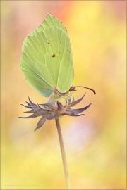 Zitronenfalter (Gonepteryx rhamni) 05