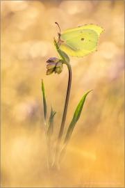 Zitronenfalter (Gonepteryx rhamni) 06