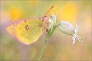 Alpen-Gelbling (Colias phicomone) 02