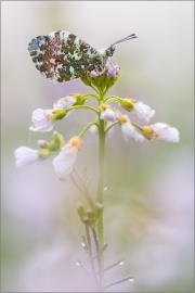 Aurorafalter (Anthocharis cardamines) 15