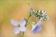 Aurorafalter (Anthocharis cardamines) 11