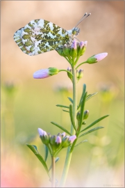 Aurorafalter (Anthocharis cardamines) 16