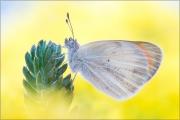 Wüsten-Aurora (Colotis evagore) 03