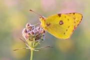 Postillon (Colias croceus) 03
